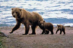 CEL_Alaska_BearFamily