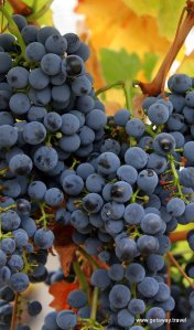 1-Wine_grapes07