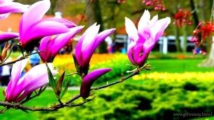 5-Keukenhof gardens-048